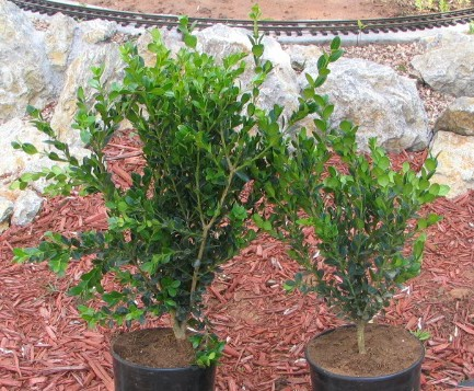 The same two boxwood repotted and untrimmed